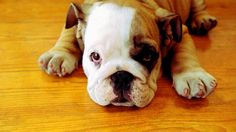 #vetsSheppey The perfect Bulldog must be of medium size and smooth coat; with heavy, thick-set, low-swung body, massive short-faced head, wide shoulders and sturdy limbs.