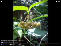 Hoya sp. Padang Sidempuan.West Sumatra