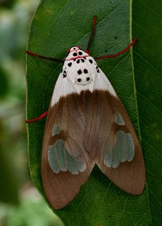 Amerila nigropunctata  is a moth of the Arctiidae family. It was described by Bethune-Baker in 1908. It is found in south-eastern New Guinea