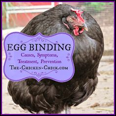 The Chicken Chick®: Chicken Egg Binding. Causes, Symptoms, Treatment, Prevention