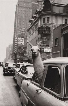 A Black And White Image Of A Llama Looking Out The Window Of An Old Car Driving Down The Street | Cutest Paw