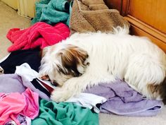 Maisie the Tibetan Terrier helping with the laundry!
