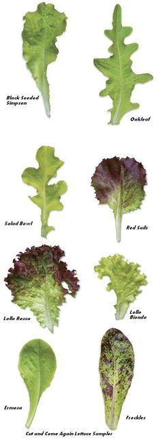 Lettuce - all shapes, patterns, and flavours! Cut and Come Again Lettuce Sampler Vegetable Garden, Garden Plants, Organic Gardening, Gardening Tips, Types Of Lettuce, Caprese Salat, Caesar Salat, Growing Lettuce, Growing Veggies