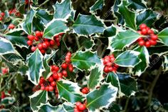 Image result for holly bush images