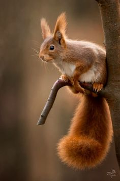 squirell - ecureuil