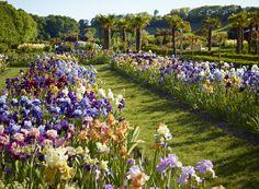 Les plates bandes d'iris et les palmiers du Jardin du Châtelain Iris, Palmiers, Dolores Park, Travel, Switzerland, Gardens, Flowers, Bearded Iris, Lilies