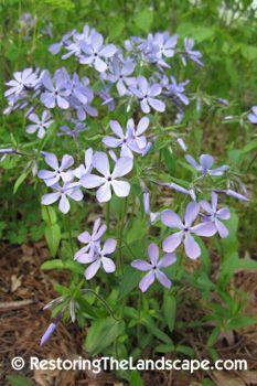 Woodland Phlox ~ Phlox divaricata