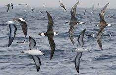 Black-capped Petrel Pterodroma hasitata - Google Search