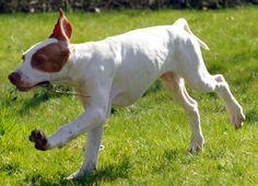 Braque Saint Germain Puppies #Dogs St. Germain Pointing Dog #Puppy #Dog