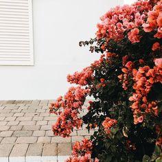 ruby bushes - Vicki Archer // https://www.instagram.com/vickiarcher/