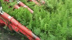 Carrot Harvester!