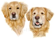Coloured Pencil portrait of two Golden Retrievers by Laura Hardie
