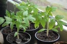 6 правил здоровой и крепкой рассады томатов. Советы опытного садовода
