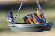 Attracting Bluebirds: Tips and FAQ It's easy to see why so many people are interesting in attracting bluebirds to their yard. We've got 7 easy tips & answers to your questions. Kat Morris Realtor Your Property Matters LLC Birds And The Bees, Love Birds, Beautiful Birds, Bird House Feeder, Bird Feeder, Bird Suet, Bluebird House, Bird House Kits, Bird Aviary