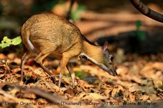 Deer Mouse or Chevrotain
