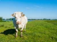 Hogyan fogyjon, ha pajzsmirigy alulműködésben szenved? | Pajzsmirigy | DrTihanyi.com Cow, Animals, Animales, Animaux, Animais, Stuffing, Animal