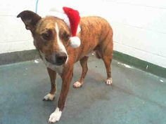 DEXTER (A1509207) I am a neutered male brown brindle and white Terrier mix.  The shelter staff think I am about 3 years old and I weigh 50 pounds.  I was found as a stray and I may be available for adoption on 12/08/2014. — hier: Miami Dade County Animal Services. https://www.facebook.com/urgentdogsofmiami/photos/pb.191859757515102.-2207520000.1417652491./883301281704276/?type=3&theater