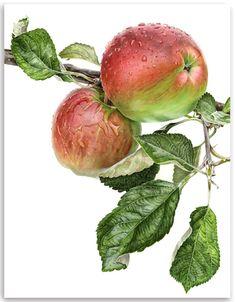 Apple 'Acme'