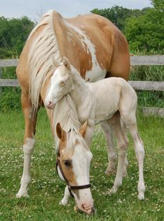 """""""Gatsby"""" is a cremello sabino Thoroughbred colt.  Thoroughbred (the breed) are not suppose to be this color but purebreds can."""
