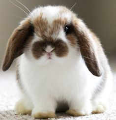 Sweet little lop-eared bunny