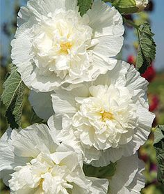 Rosea The Bride Hollyhock Seeds and Plants, Annual Flower Garden at Burpee.com