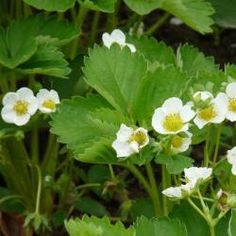 Strawberry Care: Planting Fertilizing and Cutting # Vegetable Strawberry Blossom . Strawberry Flower, Strawberry Plants, Planting Vegetables, Growing Vegetables, Herbal Tea Benefits, Garden Works, Edible Garden, Gardening Tips, Urban Gardening