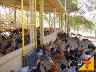 Criação de frango e galinha caipira: atividade lucrativa