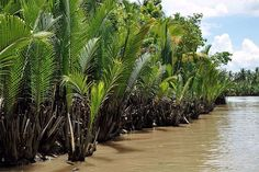 Nypa fruticans - Palmpedia - Palm Grower's Guide