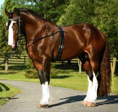 Read more about Mufasa X, a beautiful, grand champion shire stallion, available to Shire and light mares. Contact Silver Drache Farm for more information. Most Beautiful Horses, Pretty Horses, Animals Beautiful, Big Horses, Horse Love, Black Horses, Shire Horse, Clydesdale Horses, Majestic Horse