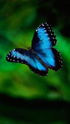 BEAUTIFUL BLUE BUTTERFLY....SHE TOLD ME SHE WAS GREAT FRIENDS WITH HER NEXT-DOOR NEIGHBOR, THE BLUEBIRD OF HAPPINESS AND THAT THEY WERE NEVER BLUE OR DEPRESSED.....ccp