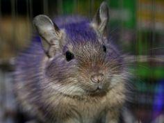 I luv u Dego and whiskers! Degu, Chinchilla, Squirrels, Animaux, Animales, Chipmunks, Chinchillas, Squirrel, Red Squirrel
