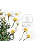 Fresh Daisies isolated on white background