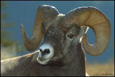Big Horn Sheep Big Horn Sheep, Rocky Mountain National Park, Dahl, Big Game, Wild Animals, Elk, Rocky Mountains, Horns, Buffalo