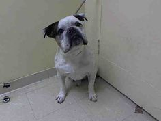 PULLED BY BOBBI AND THE STRAYS - 07/27/15 - TO BE DESTROYED - 07/24/15 - GIO - #A1043868 - Super Urgent Staten Island - MALE WHITE/BROWN ENG BULLDOG MIX, 8 Yrs - OWNER SUR - EVALUATE HOLD RELEASED Reason CHILD CONFLICT - Intake Date 07/13/15