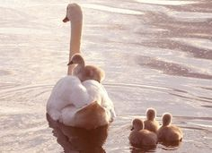 I love swans and fell in love in Paris, when we found dozens of swans clustered together in the country lakes.