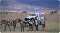 Safári no Serengeti, o mais antigo popular parque da Tanzânia