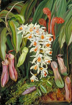Wild Flowers of Sarawak, Borneo by Marianne North Location: Borneo, Sarawak Plants: Coelogyne asperata Pitcher Plant, Nepenthes Dendrobium secundum © Kew Gardens, London http://www.kew.org/mng/gallery/plant-portraits