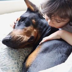 The Doberman Pinscher is among the most popular breed of dogs in the world. Known for its intelligence and loyalty, the Pinscher is both a police- favorite Black Doberman, Doberman Love, Beautiful Dogs, Animals Beautiful, Cute Animals, Weimaraner, Rottweiler, Cutie And The Beast, Doberman Pinscher Puppy