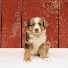 #AustralianShepherd #Charming #PinterestPuppies #PuppiesOfPinterest #Puppy #Puppies #Pups #Pup #Funloving #Sweet #PuppyLove #Cute #Cuddly #Adorable #ForTheLoveOfADog #MansBestFriend #Animals #Dog #Pet #Pets #ChildrenFriendly #PuppyandChildren #ChildandPuppy #LancasterPuppies www.LancasterPuppies.com Australian Shepherd Puppies, Lancaster Puppies, Puppy Food, Family Set, Blue Merle, Aesthetic Drawing, Animals Dog, Puppies For Sale, Mans Best Friend