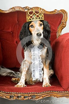 dog king | Royal dog: mixed breed dog with crown sitting in a red velvet sofa.