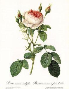 Rose, Muscosa Multiple by Pierre-Joseph Redouté - ArtinthePicture.