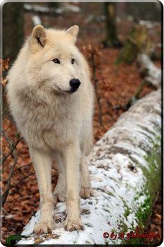 Polarwolf Amarok