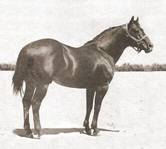 """King p-234 was considered the """"ideal"""" model for a Quarter Horse, he and the many Great Quarter Horses that he sired were inducted into the AQHA Hall of Fame."""