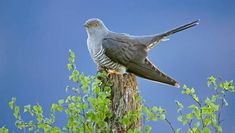 A cuckoo chick's call can be so loud and demanding when wanting food that it can persuade birds other than its foster parent to feed it. Description from onekind.org. I searched for this on bing.com/images