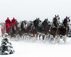 Budweiser Clydesdale Horses In Snow – Simply Marvelous Horse World Horses In Snow, Big Horses, Pretty Horses, Horse Love, Beautiful Horses, Animals Beautiful, Cute Animals, Beautiful Things, Unusual Animals