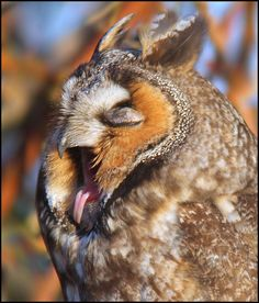 Long-eared Owl yawn by winnu, via Flickr hahaha so funny. i love some of the faces owls make. xD