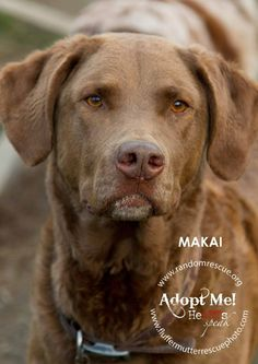 Makai is a 7 year old Chesapeake Bay Retriever currently at Random Rescue in Williamstown, VT  802-433-5912