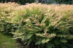 Sorbaria sorbifolia 'Sem'- heester behorend tot de rosaceae, word 1-1.5 m hoog groeien op de meeste gronden maar niet op een winderige standplaats. Bloeit met witte pluimen juli-aug. Mooie herfstverkleuring.