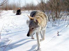 Czechoslovakian Wolfdog. Beautiful!