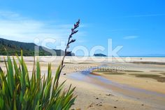 View top-quality stock photos of New Zealand Flax Flower With Distant Seascape. Find premium, high-resolution stock photography at Getty Images. New Zealand Flax, Abel Tasman National Park, Flax Flowers, New Zealand Beach, Kiwiana, Turquoise Water, Beach Fun, Image Now, Beautiful Beaches